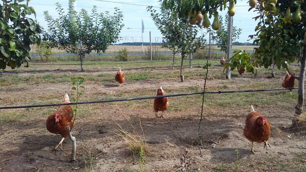 Obstgartenhühner am Bachfeldhof