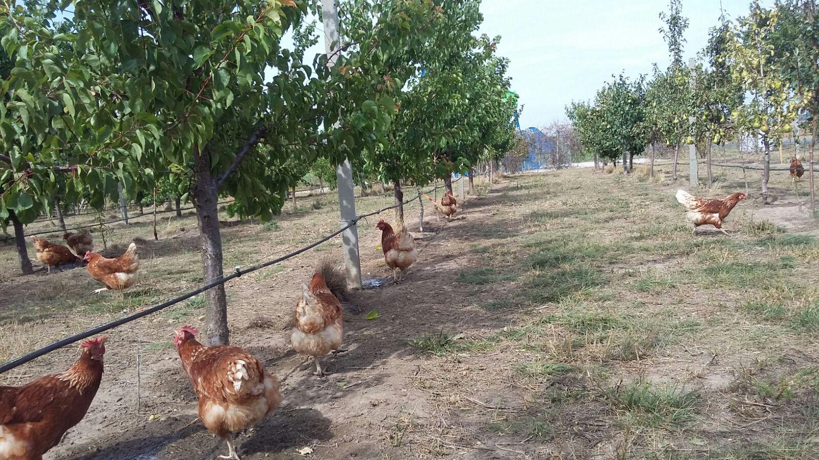Hühner im Obstgarten, Bachfeldhof