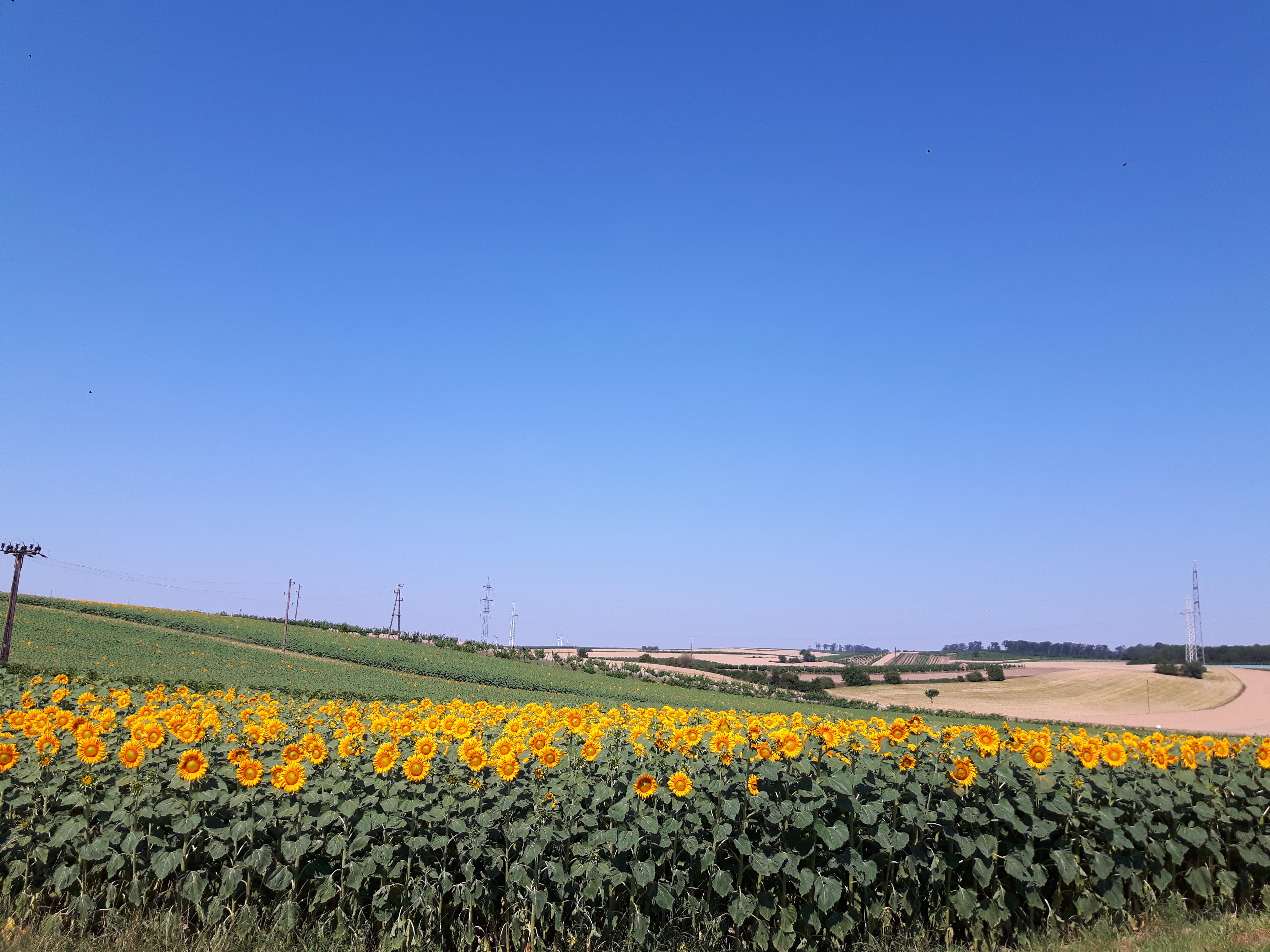 Eine Ögreissler Lieferrunde im von Sonnenblumen strahlendem Marchfeld