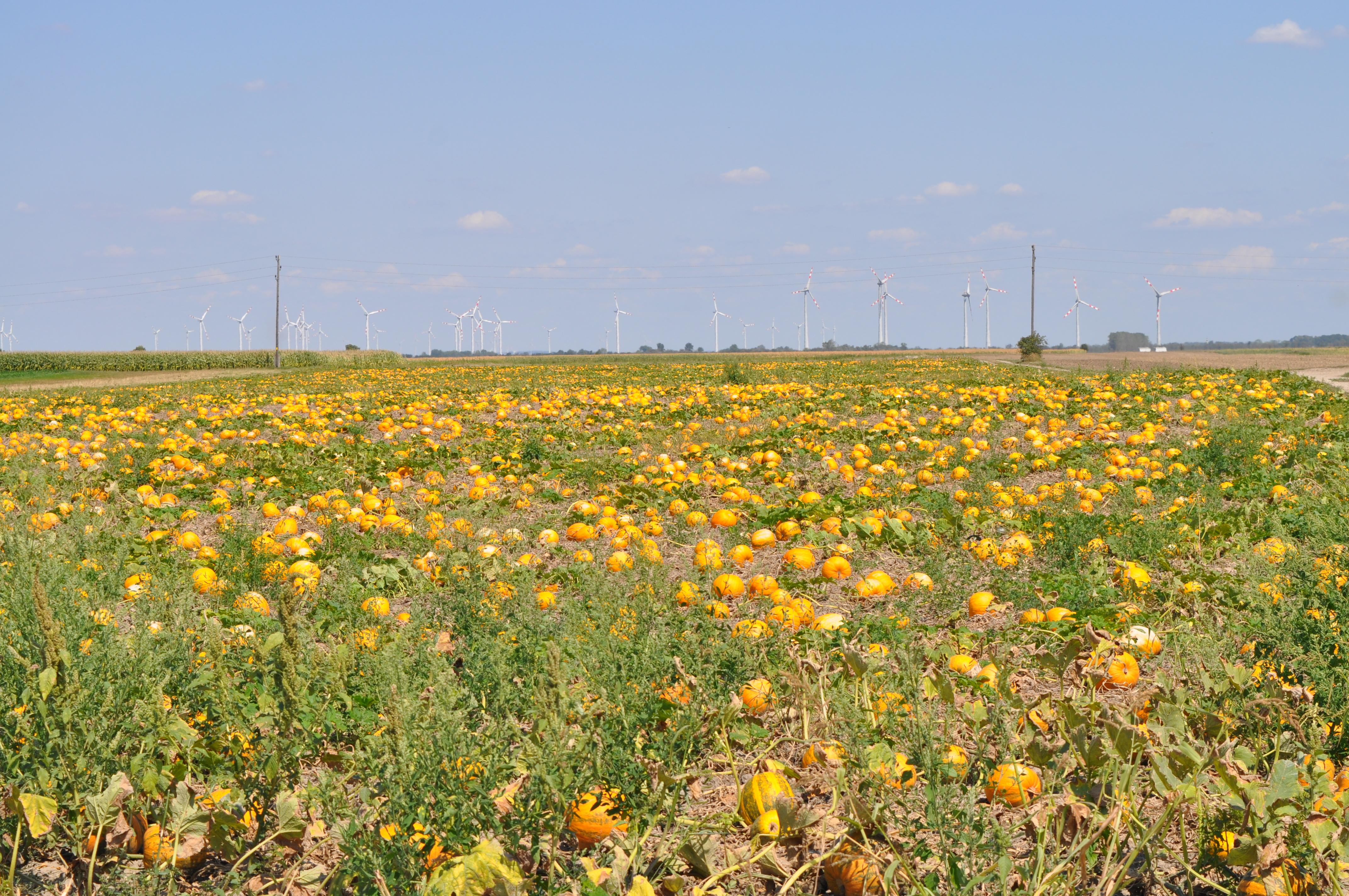 Saatgutvermehrung der Ölkürbisse im Marchfeld