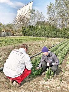 Der Ögreissler beschaut die Tulpen der Gärtnerei Koll in Groß-Enzersdorf beim Autokino