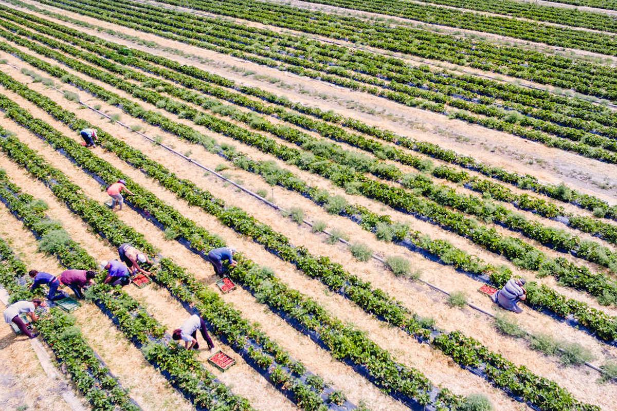 Erdbeerfeld EdlingersErnte auf dem Erdbeerfeld von Edlingers