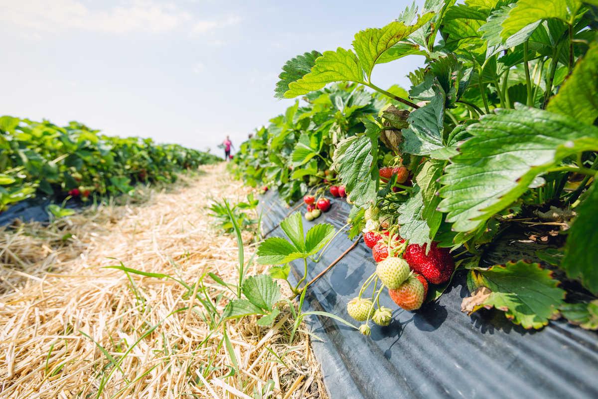 Edlingers Erdbeeren