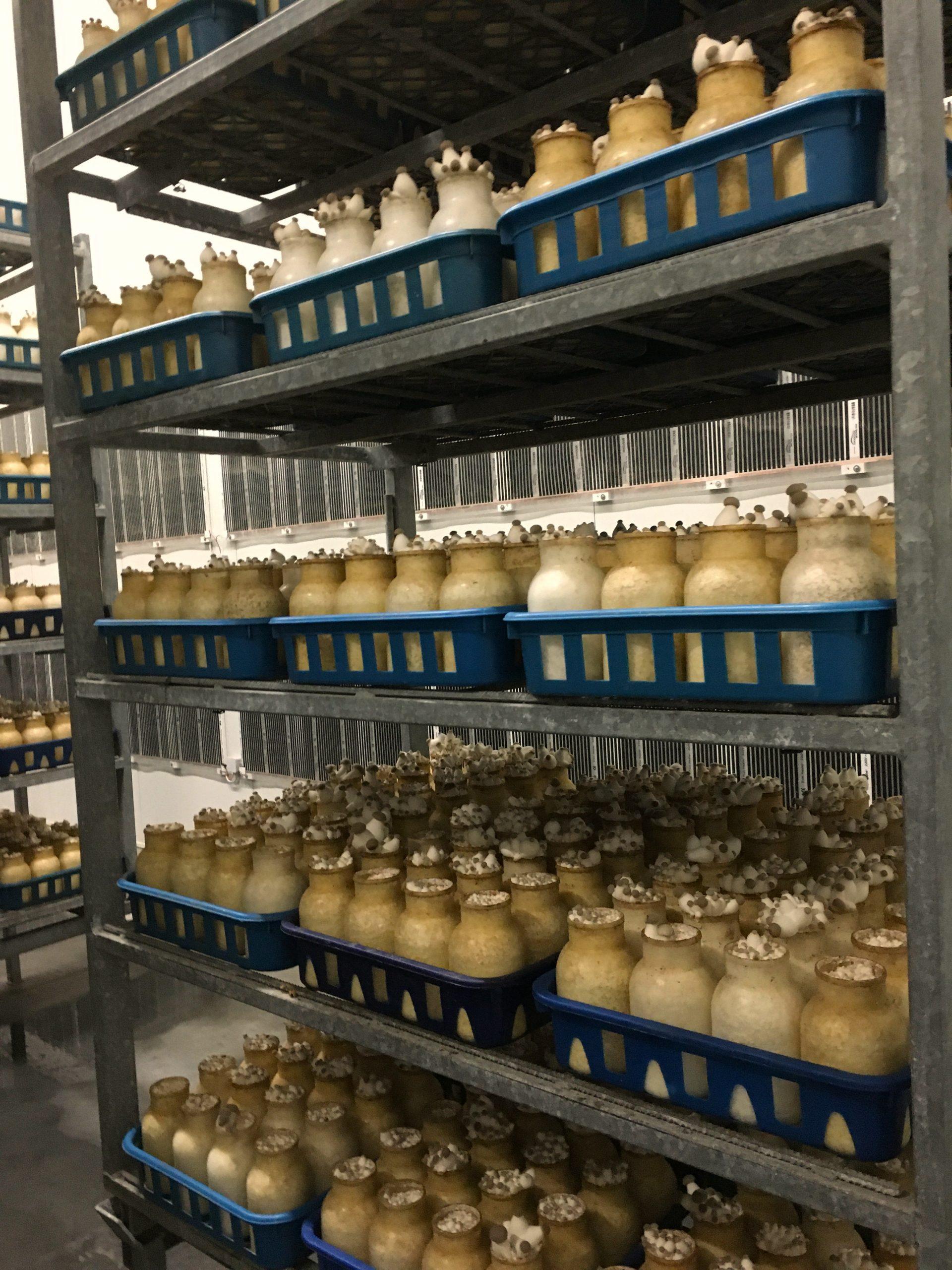 Produktion Kräuterseitlinge