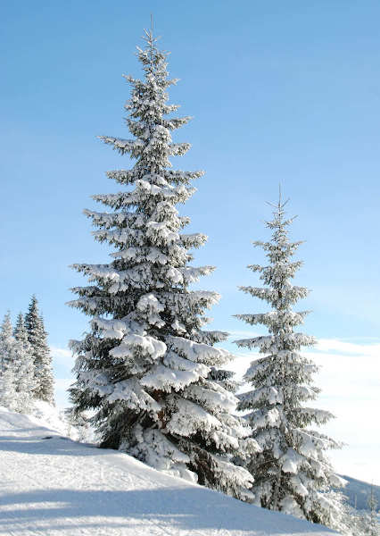 Lebende Christbäume mit Schnee