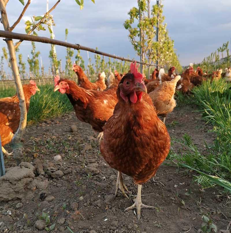 Frische Freilandeier von Obstgartenhühnern aus der Region Marchfeld. Ab Hof direkt zu Ihnen nach Hause.