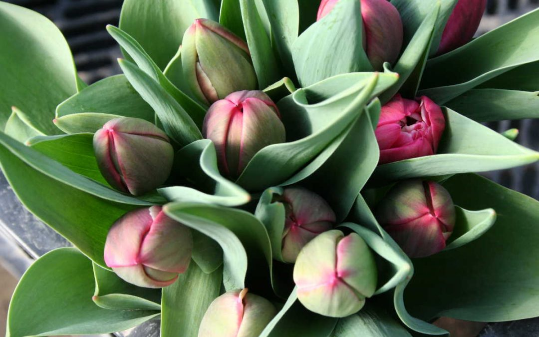 Tulpenbund der Gärtnerei Koll
