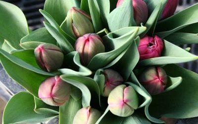 Tulpen aus Gross-Enzersdorf