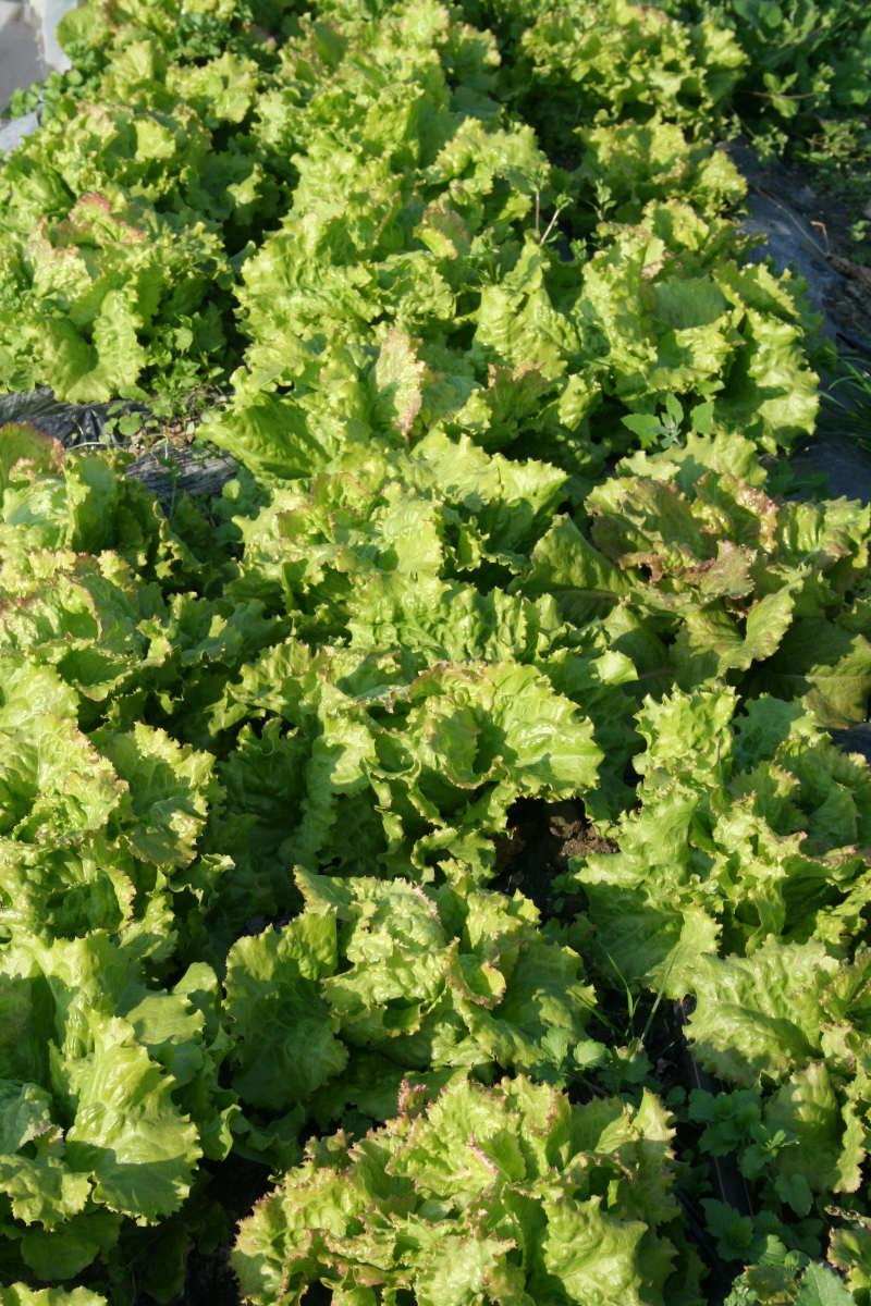 Bio Salat von Buntgemüse
